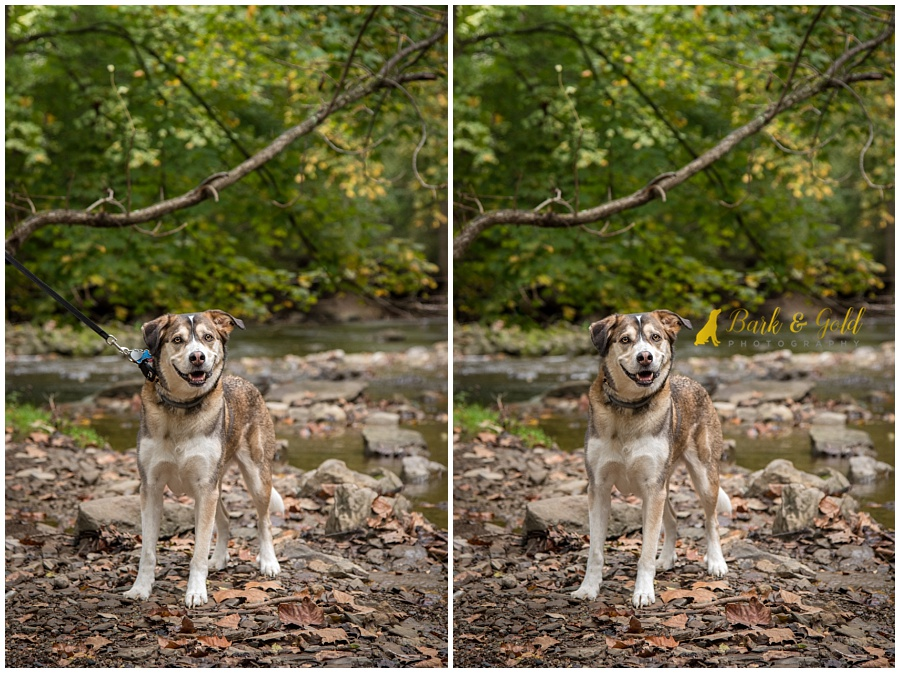 Siberian retriever in a creek at Mingo Creek Park before and after a leash removal