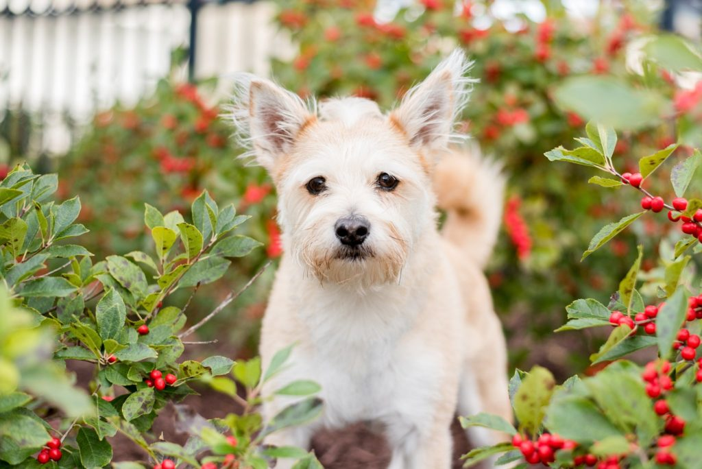 terrier mix in red berry bushes at Pittsburgh's Point State Park