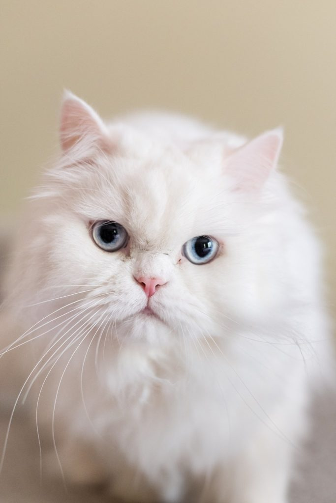 white cat with blue eyes during home session