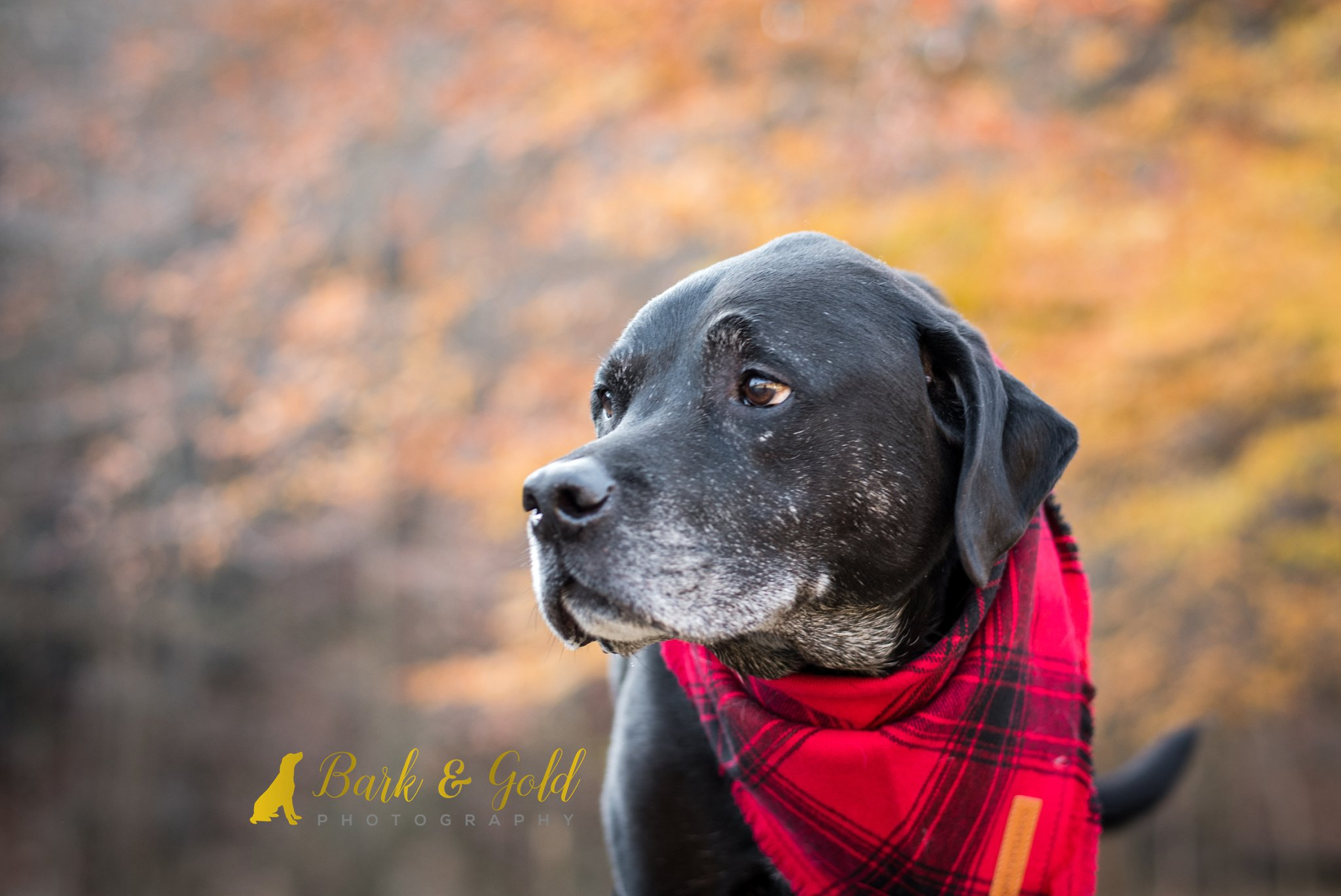 senior black Lab against fall colors