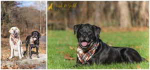 Jäger & Otto the Black and Yellow Labrador Retrievers - Pittsburgh Dog Photography