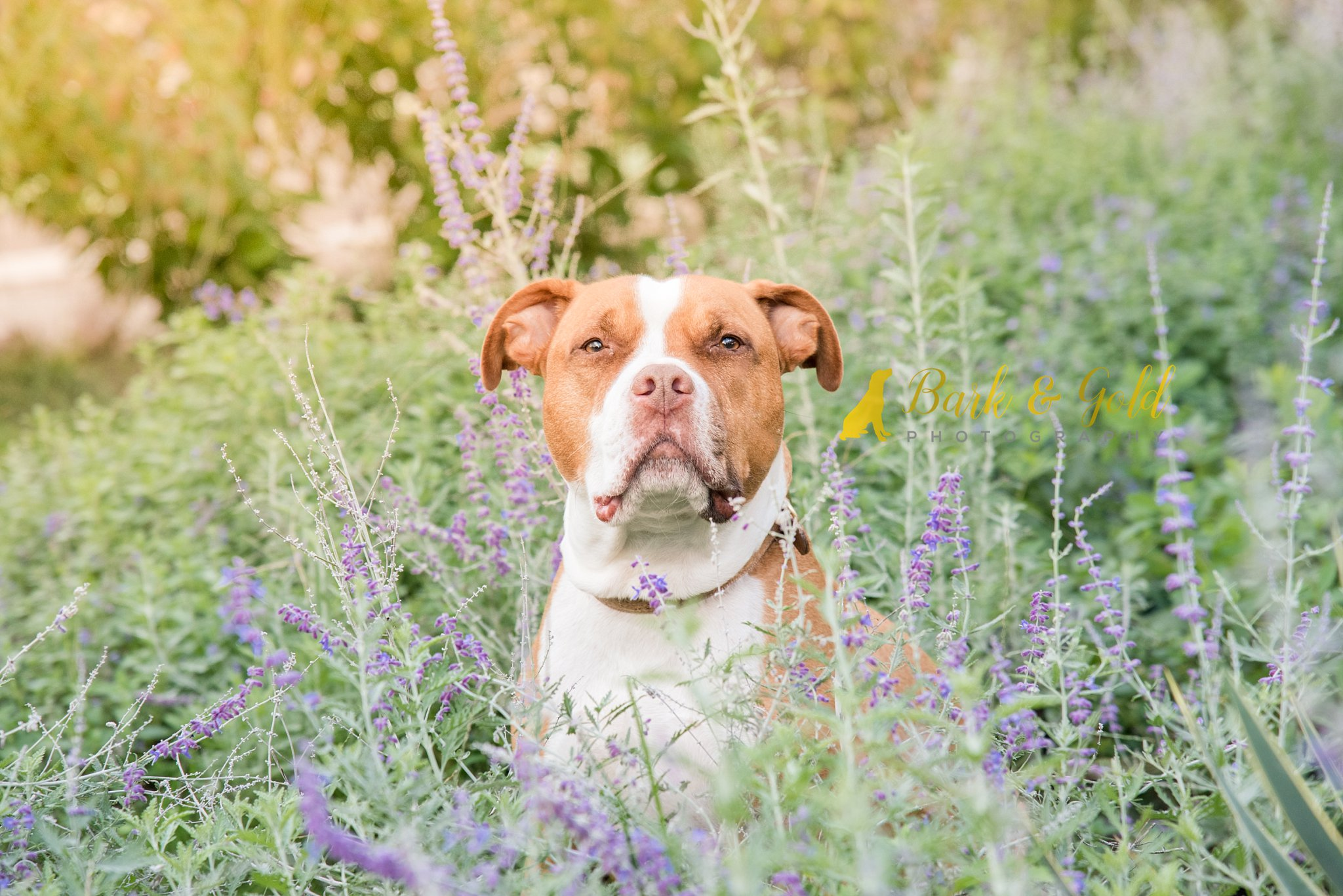 pit bull in purple flowers at Phipps Conservatory