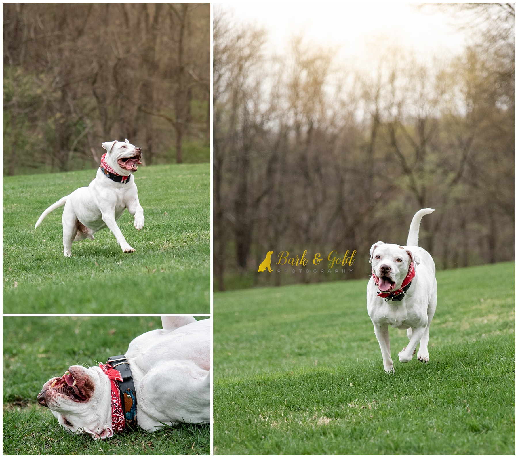 white pit bull running and playing in a field at South Park near Pittsburgh