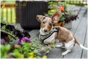 Dory the Dapple Dachshund's Backyard Session - Pittsburgh Dog Photography