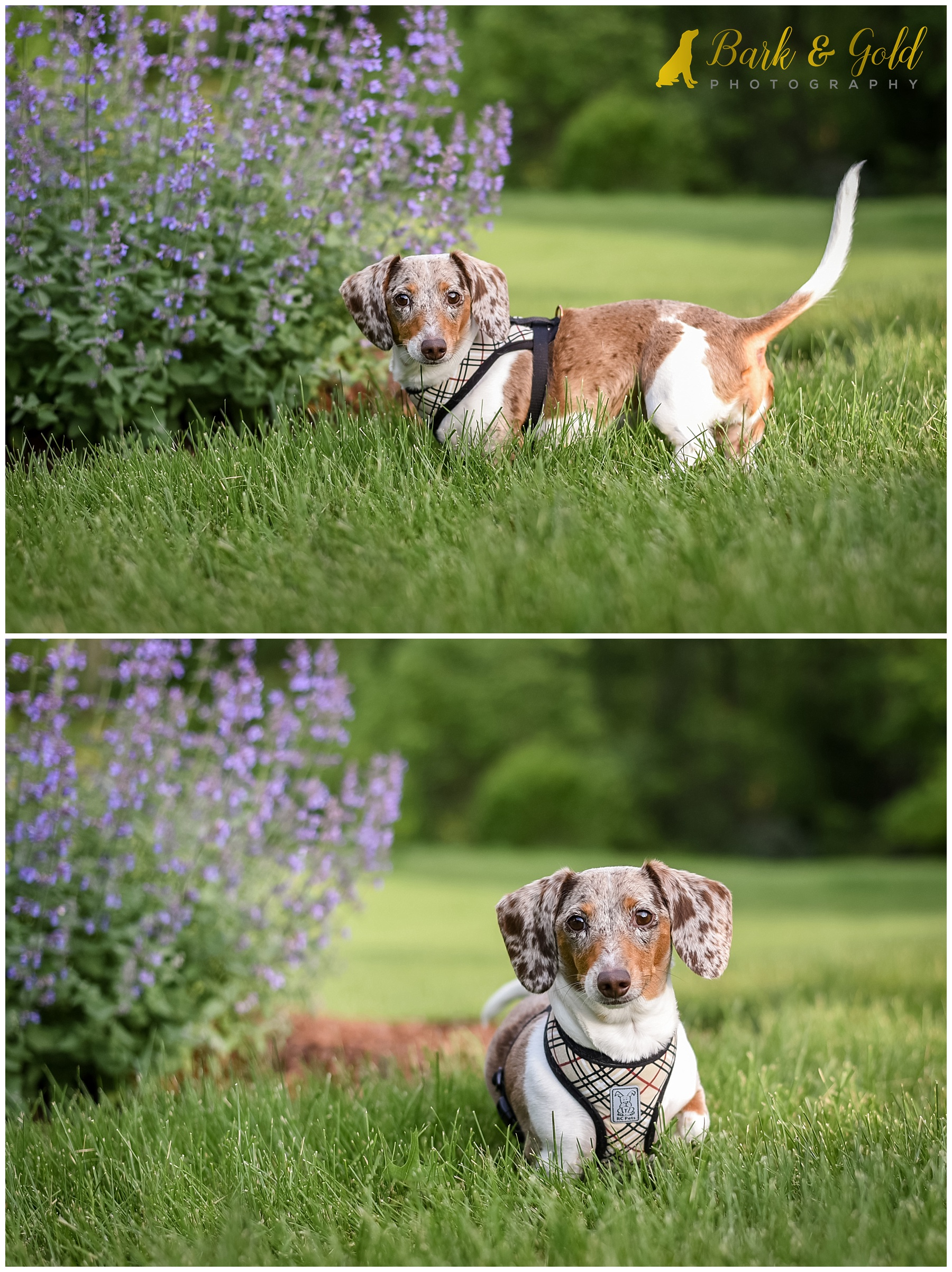 dapple Dachshund posing by lavender flowers during a backyard session near Pittsburgh