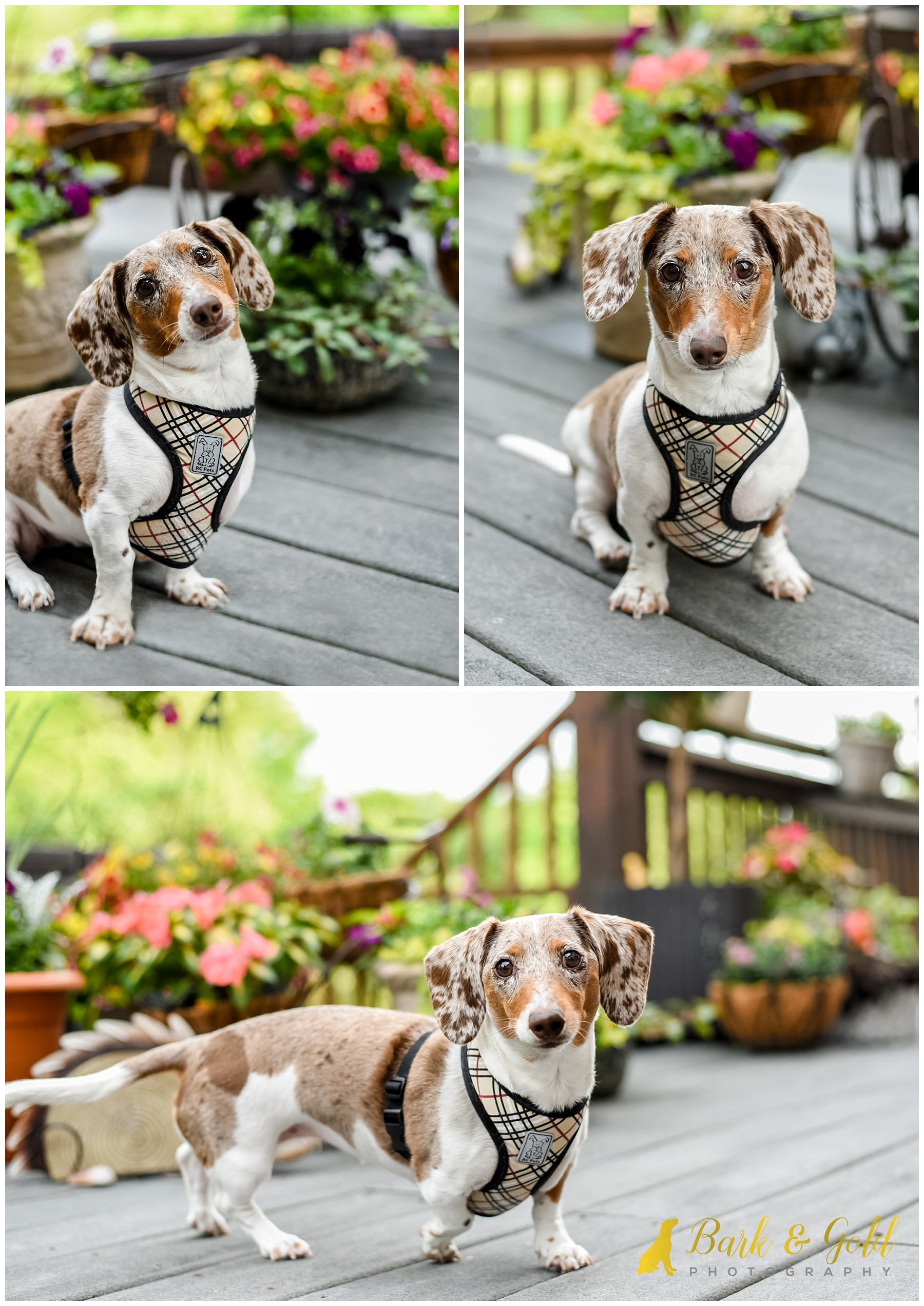 dapple Dachshund and flower planters on deck during at-home session