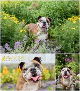 Beatrice the Bulldog - Pittsburgh Pet Photography