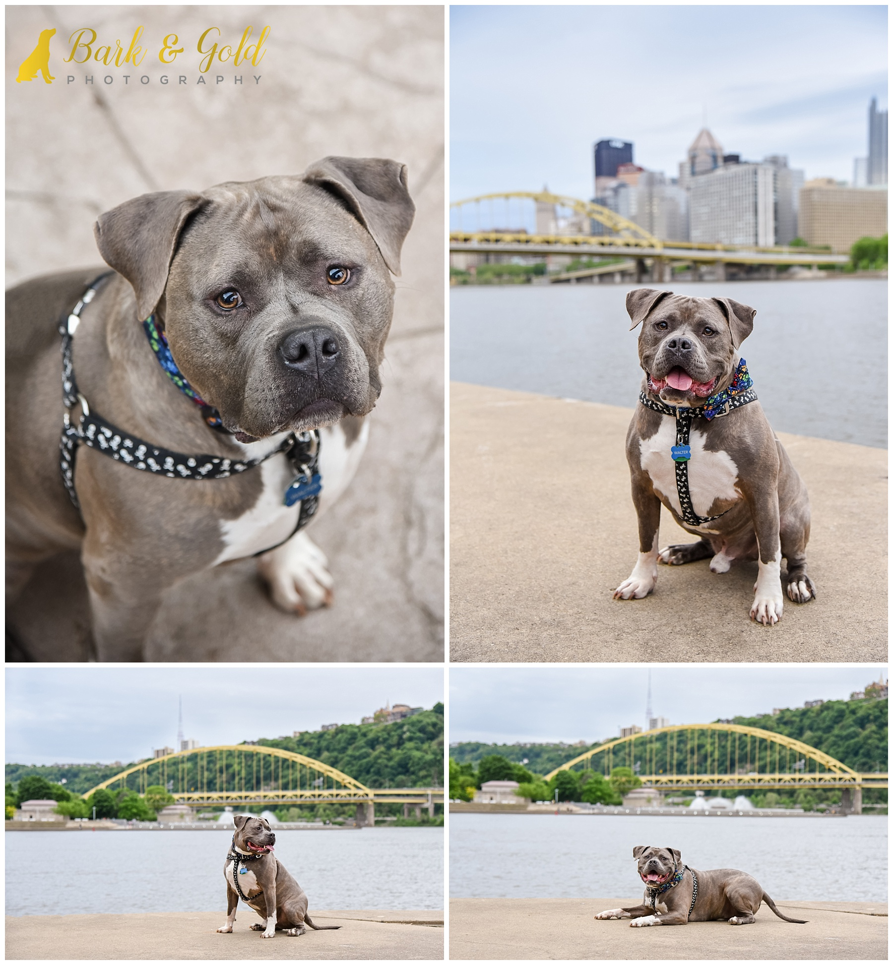 gray pit bull posing with Pittsburgh city skyline in background
