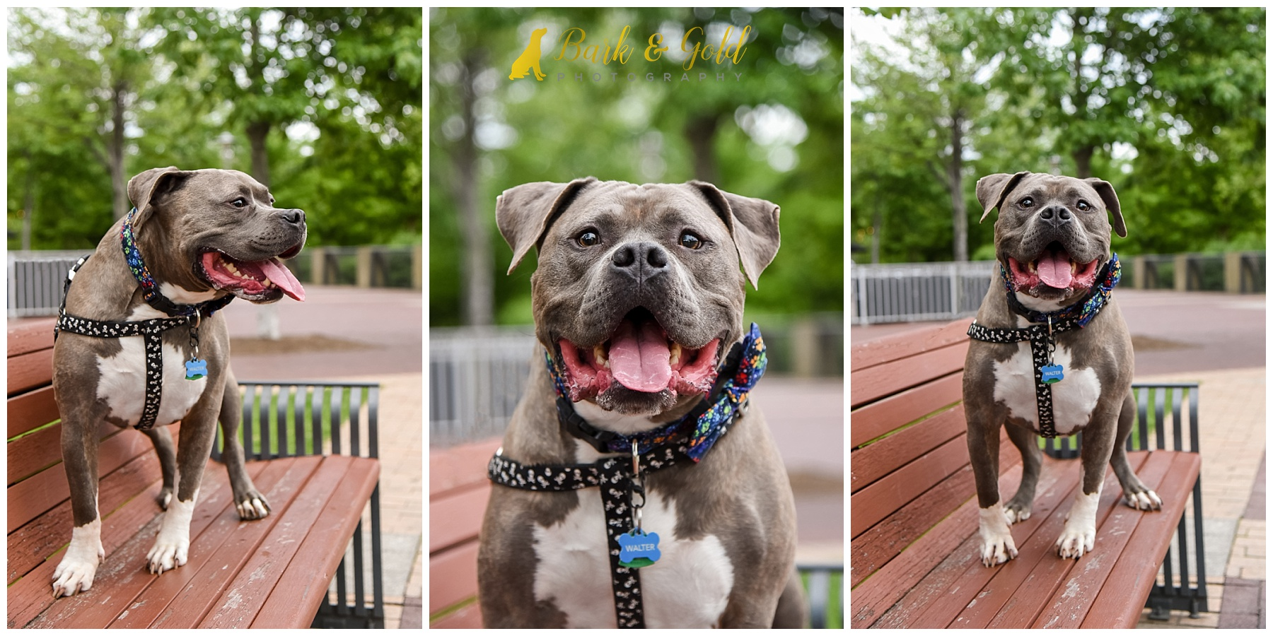 happy gray pit bull smiling on a bench in downtown Pittsburgh