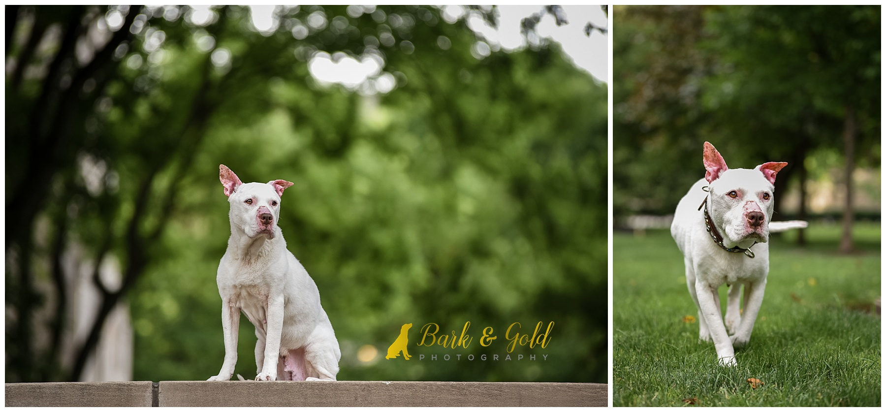 white pit bull frolicking through a field at Pittsburgh's Schenley Plaza