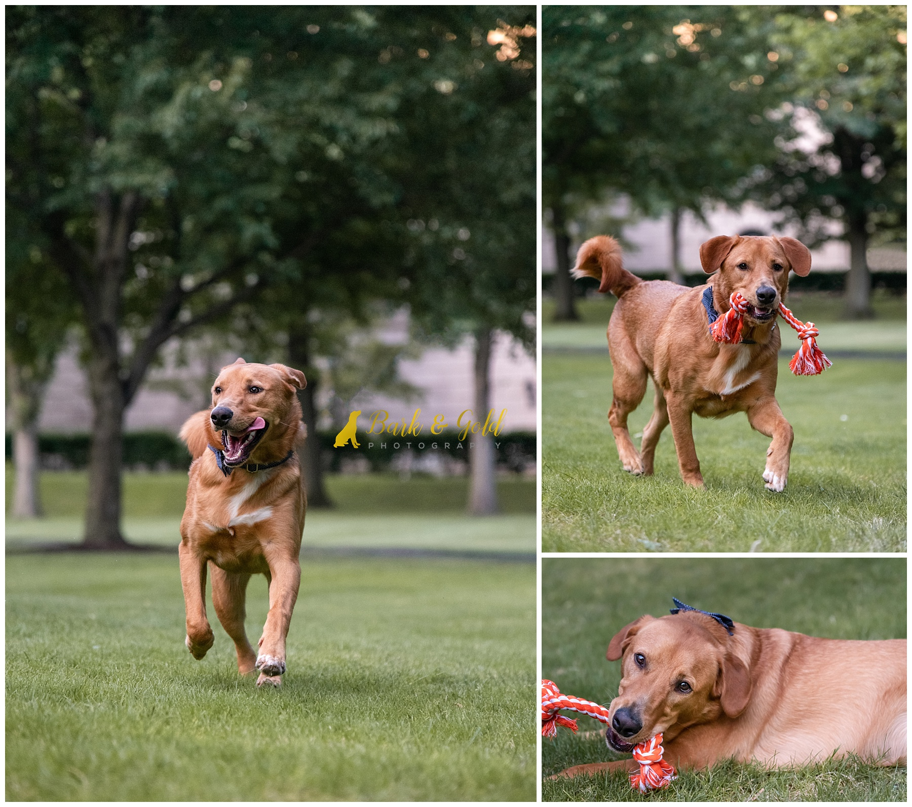 Brown mixed breed dog playing with toy at Schenley Plaza