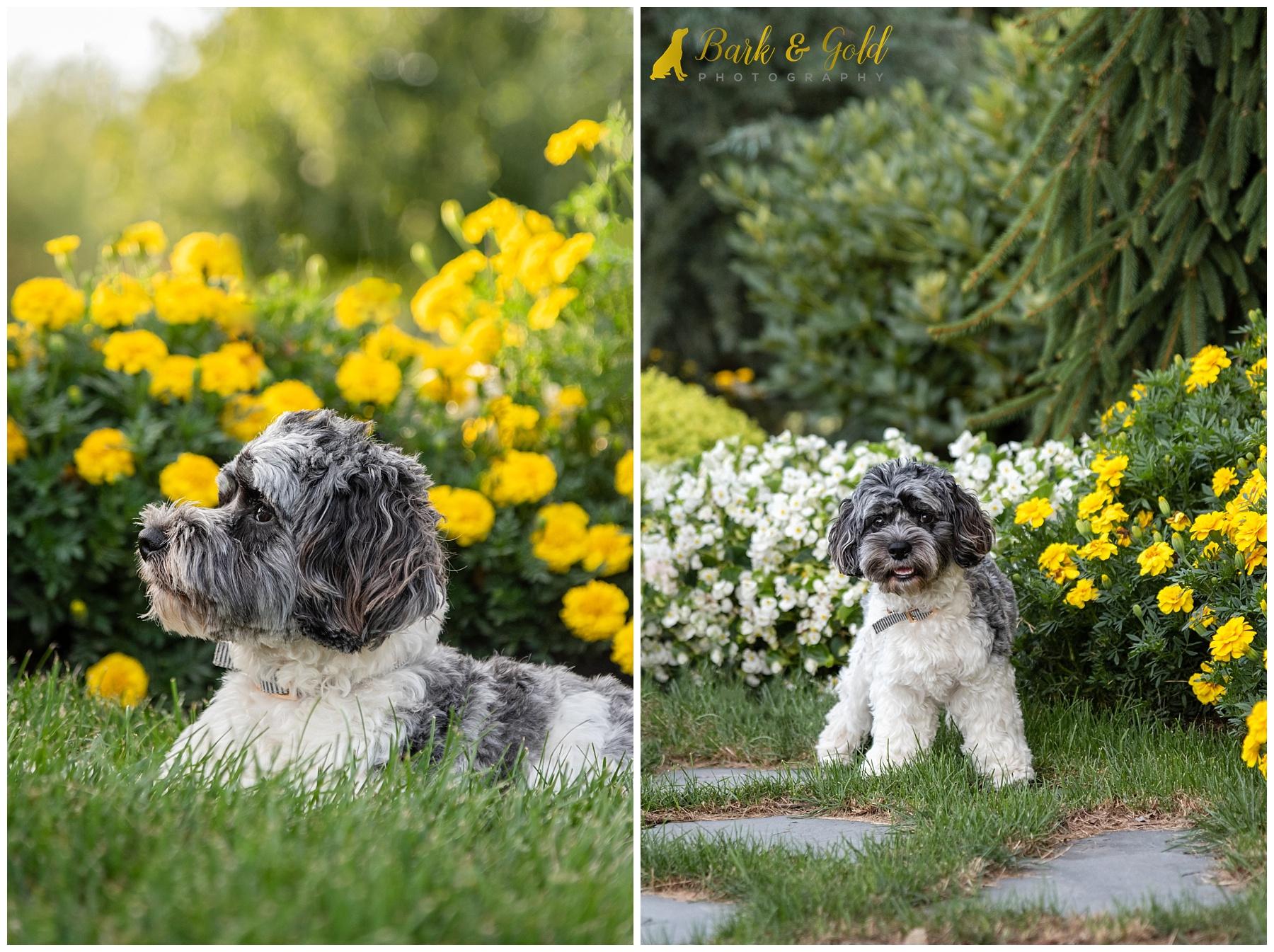 Cavapoo puppy in backyard garden flowers