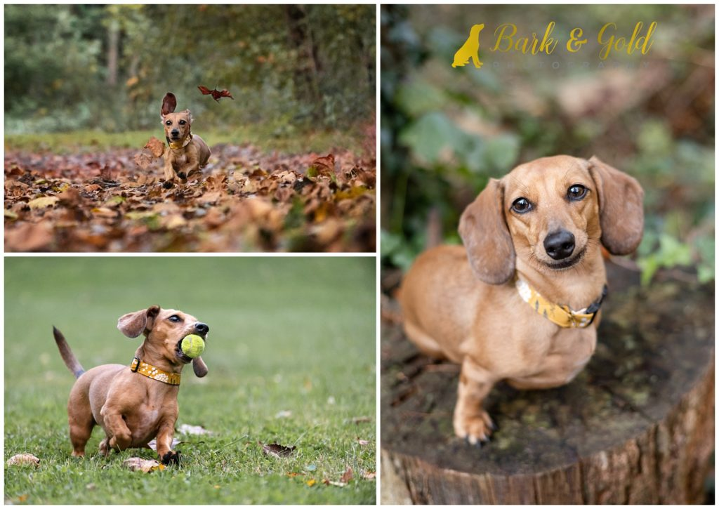 dachshund puppy plays and runs at Brady's Run Park near Beaver Falls