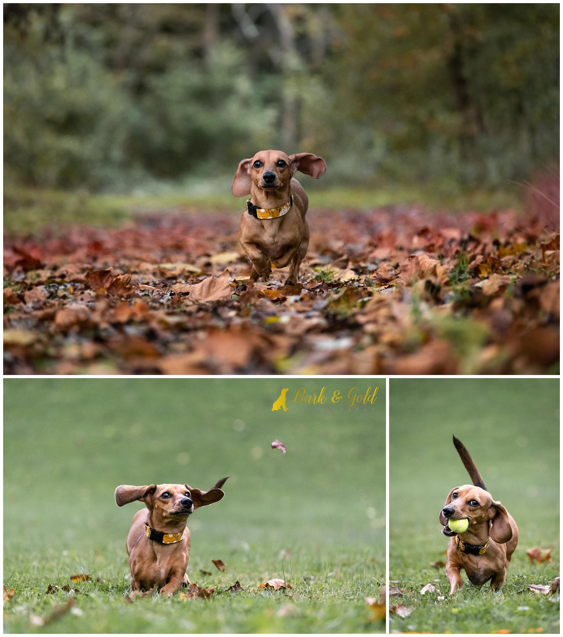 dachshund puppy running through leaves in Brady's Run Park in Beaver County