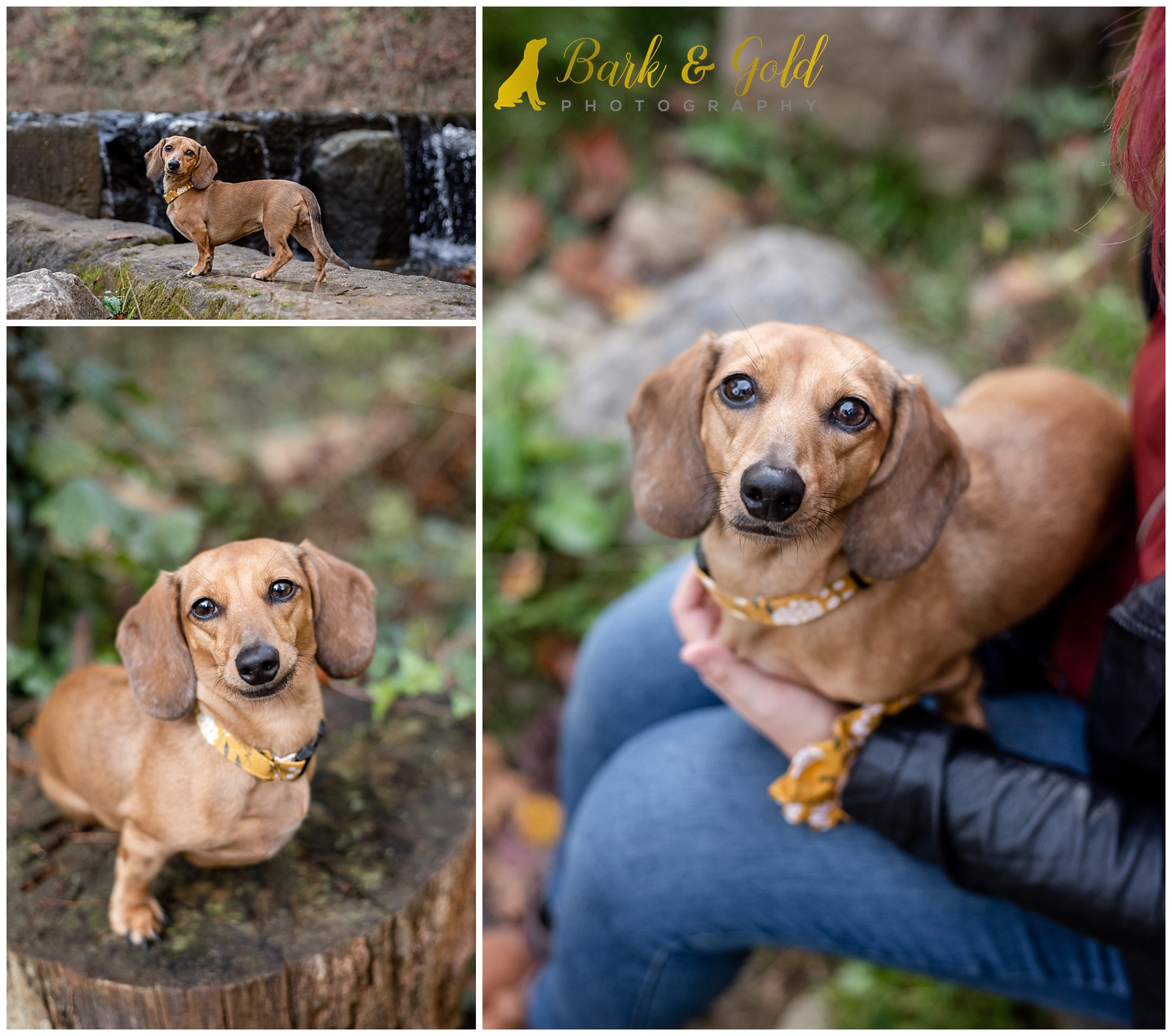 dachshund puppy portraits at Brady's Run Park in Beaver County