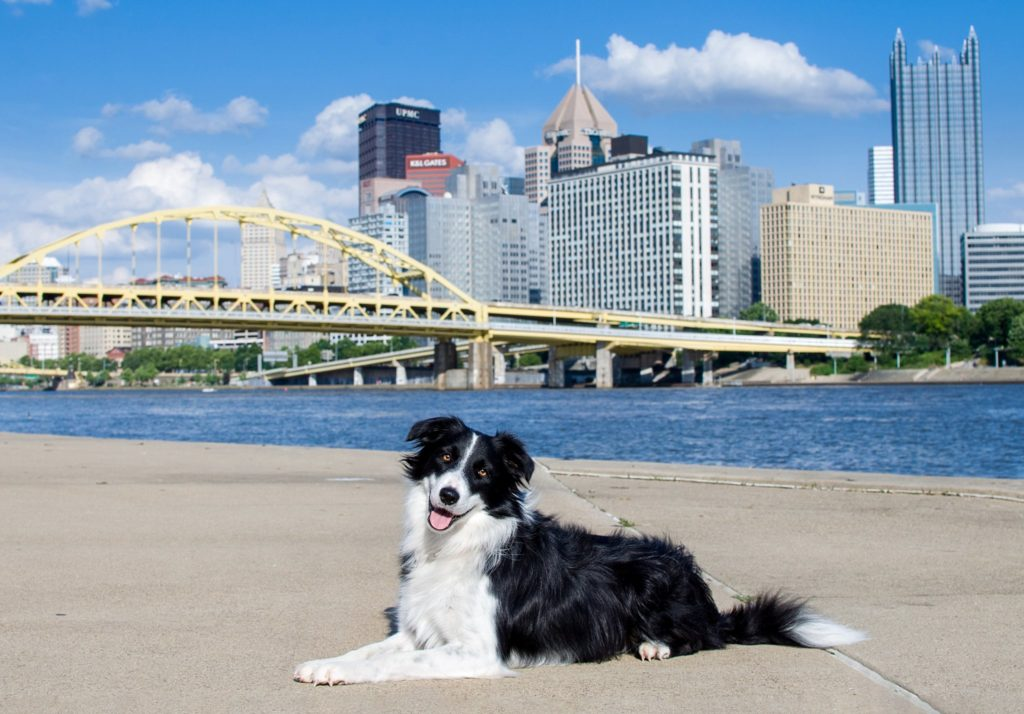border collie along Pittsburgh's North Shore