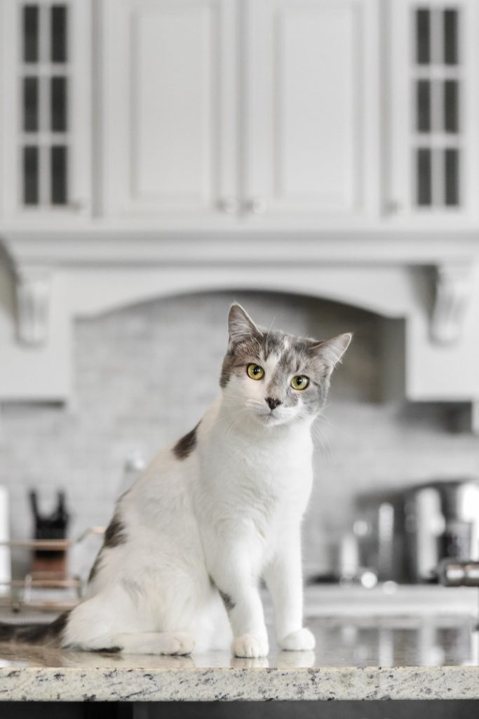 white and gray kitten sitting on kitchen counter