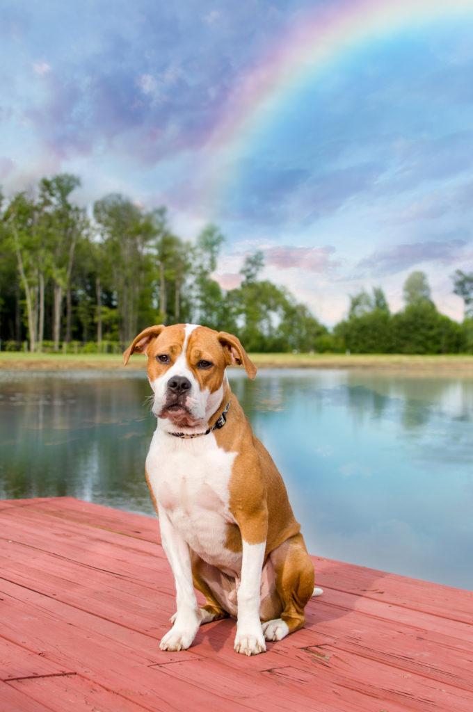 pit bull puppy on a dock beneath a rainbow sky