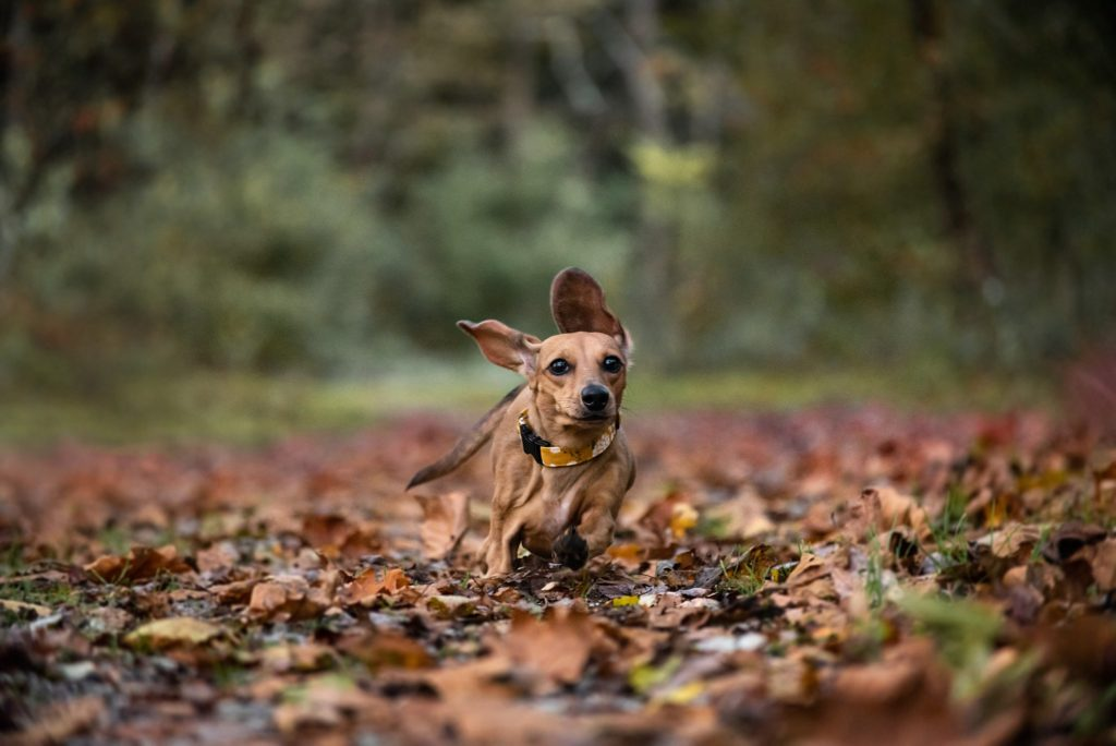 dachshund puppy running through fall leaves