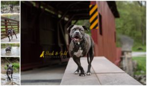 Samson the American Staffordshire Terrier - Pittsburgh Dog Photography