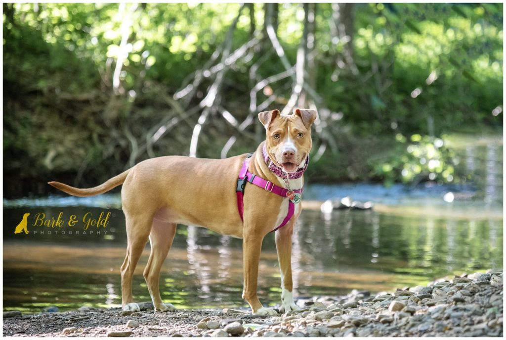 pit bull wearing a pink martingale collar from Diamond Daisy Design
