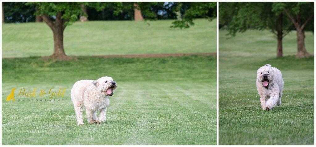 Soft Coated Wheaten Terrier running in a field in Schenley Park