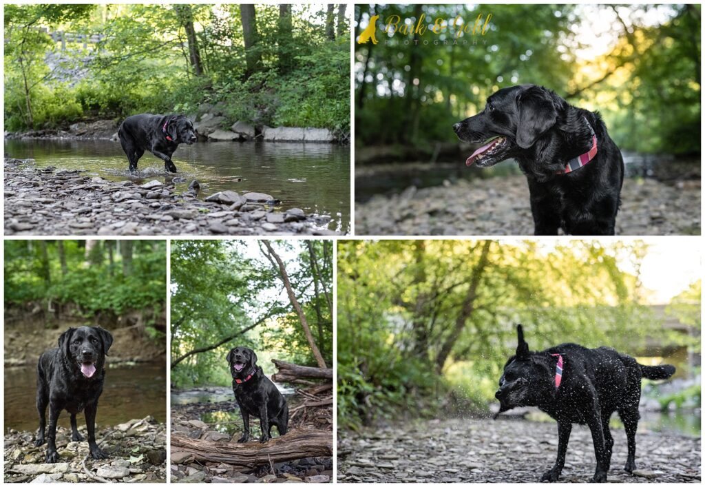 black Lab swimming at Brady's Run Park in Beaver County