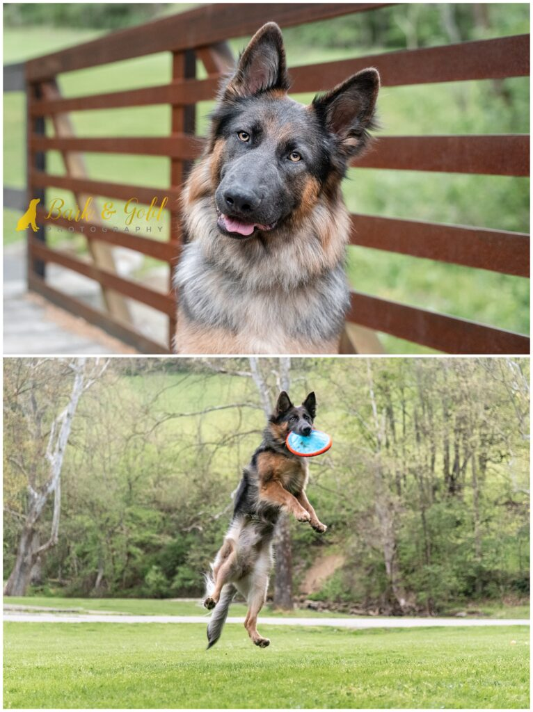 GSD jumping to catch a flying disc at Mingo Creek Park near Washington