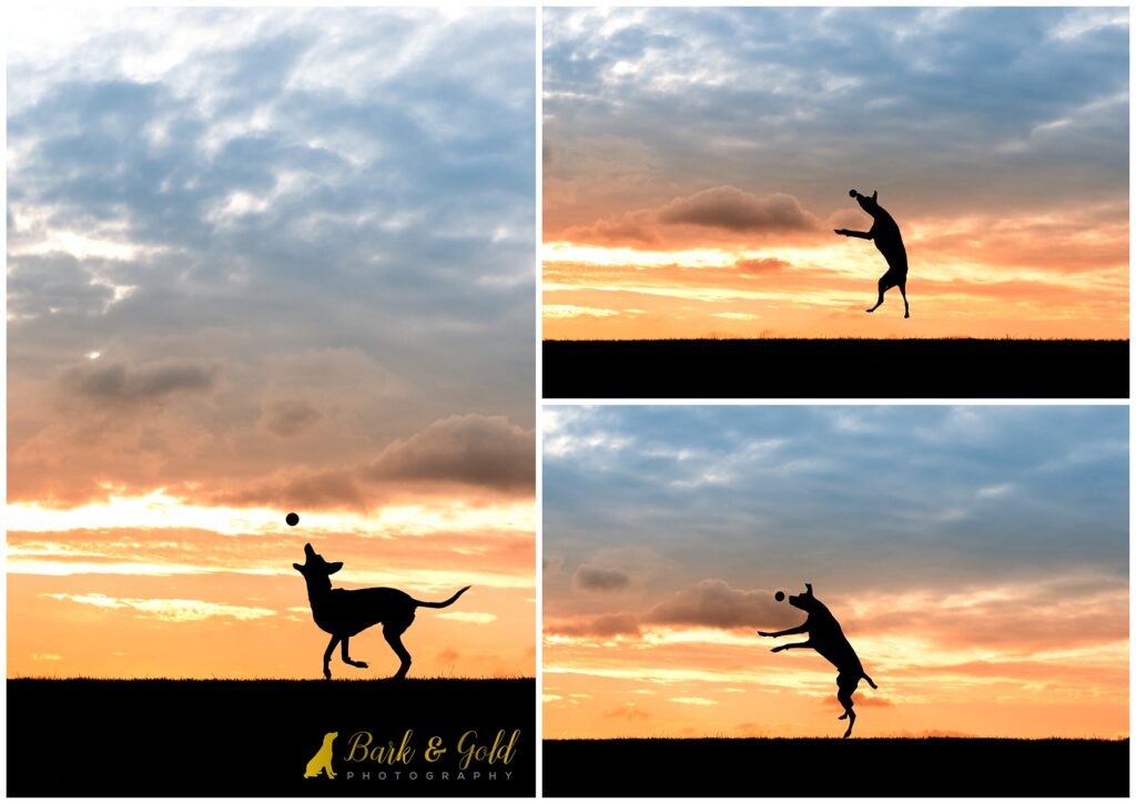 Italian Greyhound playing ball during a Silhouette Sunset Session near Pittsburgh