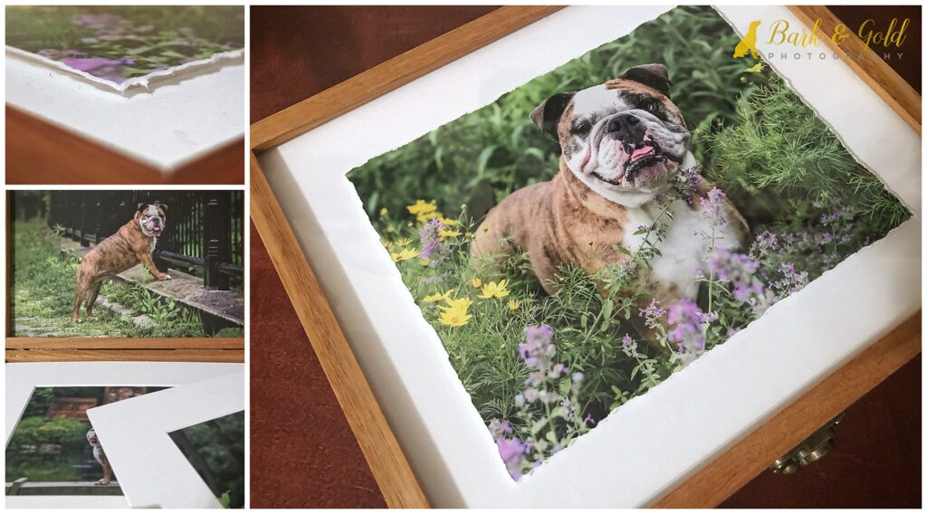 bull dog on heirloom folio box