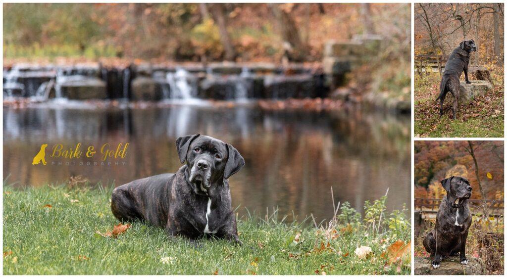 Mastiff mix at a waterfall in Brady's Run Park near Pittsburgh
