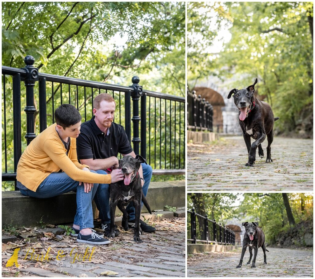 senior black Lab mix on cobblestone path near Phipps Conservatory and Schenley Park