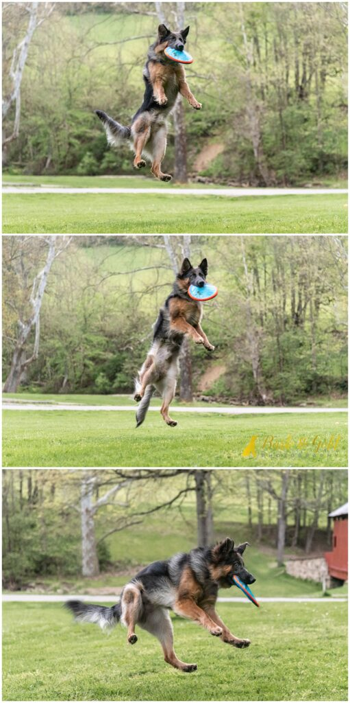 German Shepherd pup catching a frisbee at Mingo Creek Park in Washington County