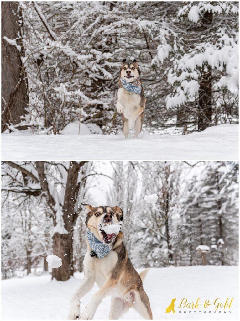 Siberian retriever catching snowballs and running through a winter snow