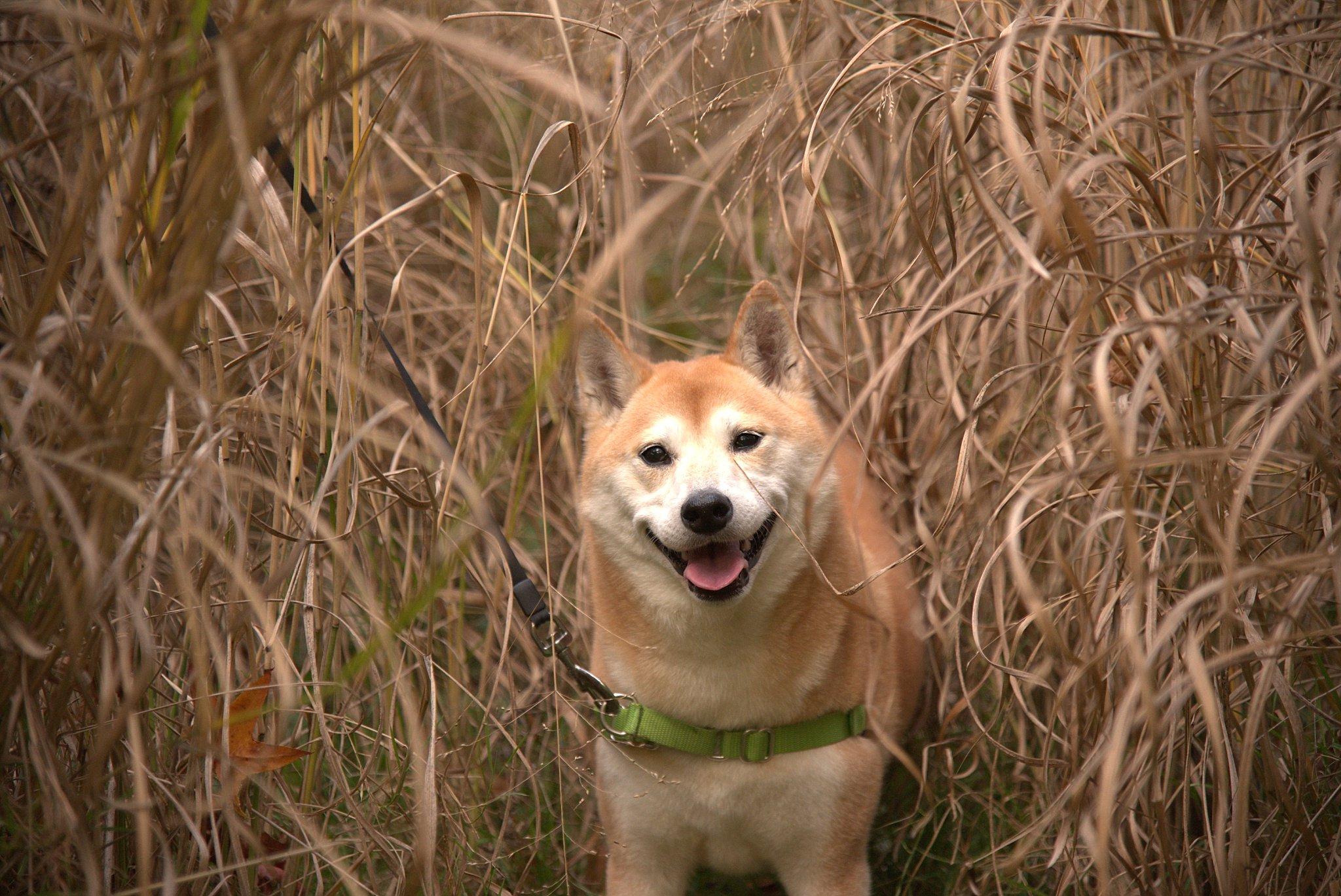 raw image of Shiba Inu in tall dead grass