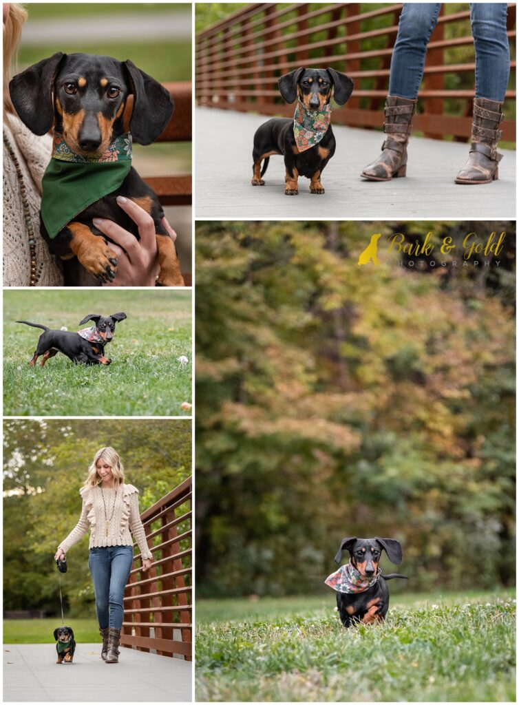 miniature dachshund playing in a field with owner at Brady's Run Park