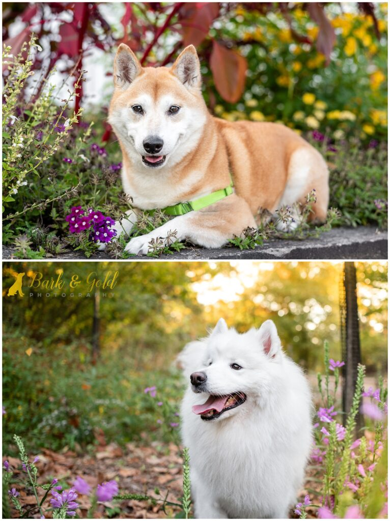 Shiba Inu and Samoyed in flowers at Westinghouse Memorial in Schenley Park