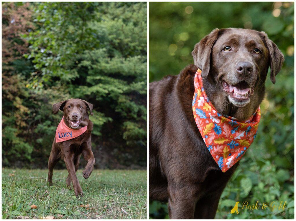 chocolate lab in Three Wags' The Orange Leaves dog bandana