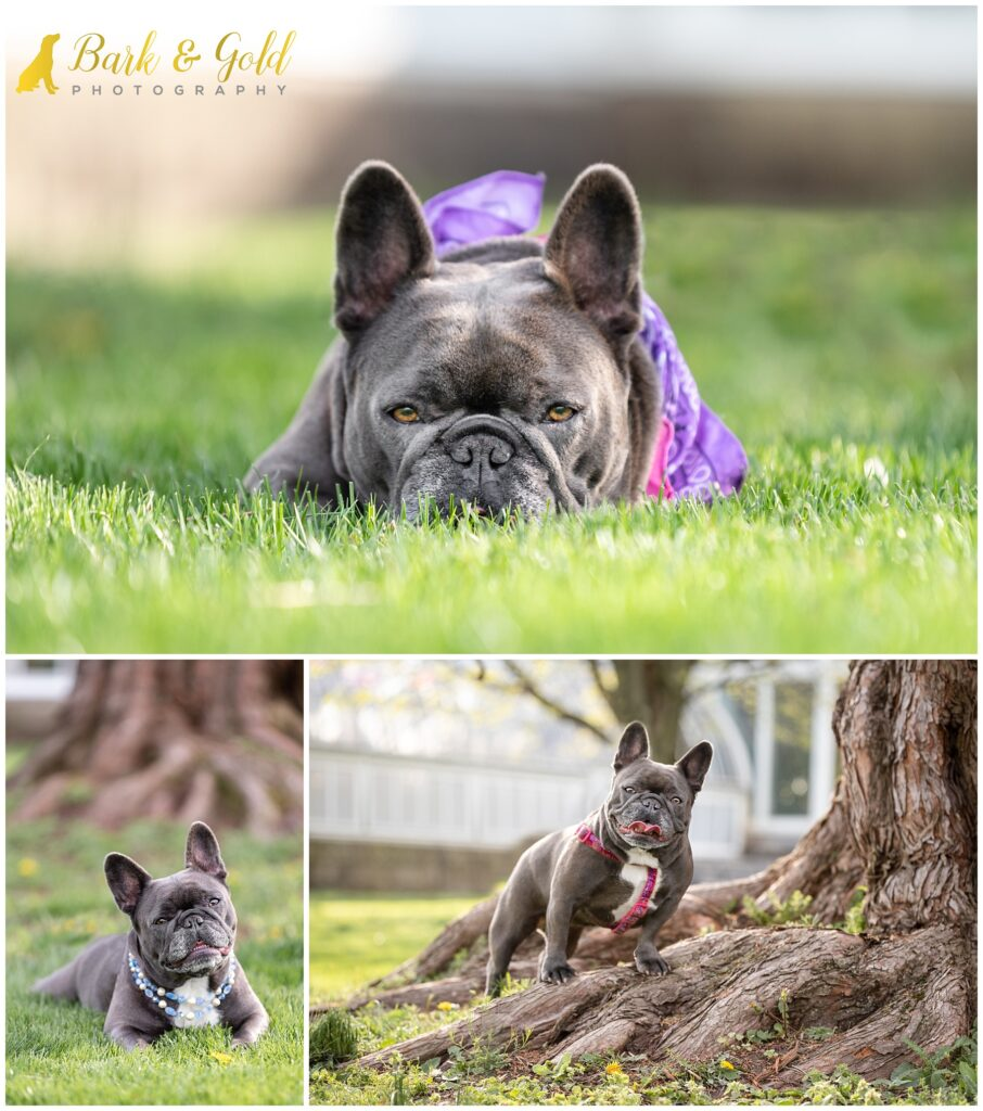 French Bulldog posing in the grass at Phipps Conservatory near Pittsburgh