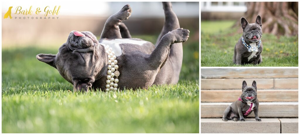 French Bulldog playing in the grass at Phipps Conservatory in Pittsburgh