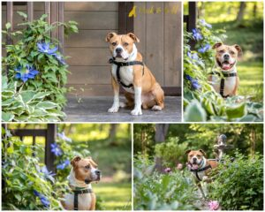 Walter the Pit Bull's Flower-Filled Session at Robin Hill Park