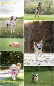 Using Toys as Props During Your Pittsburgh Dog Photography Session