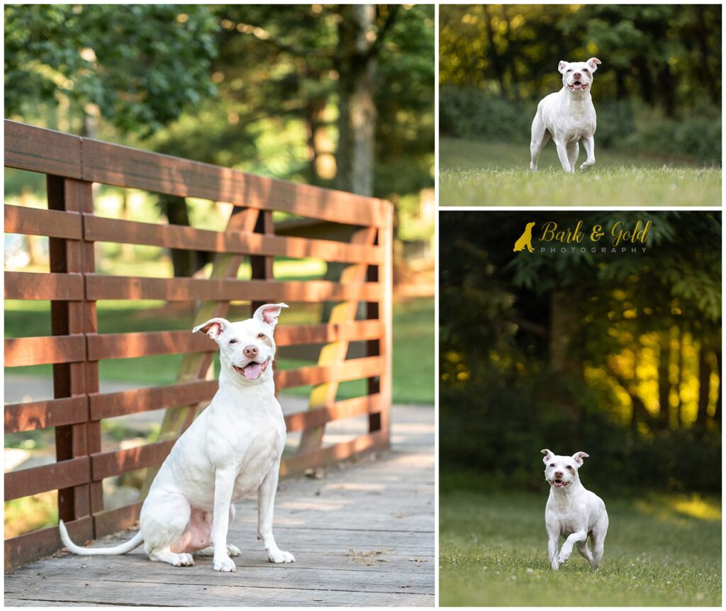 smiling happy white pit bull prancing in a field at Mingo Creek Park in Washington County